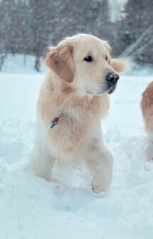 Salty Dogs Golden Retriever Puppies - home